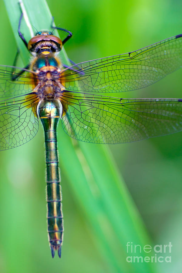 Fauna Photograph - A Dragonfly Cordulia Aenea Warming Its by Corlaffra