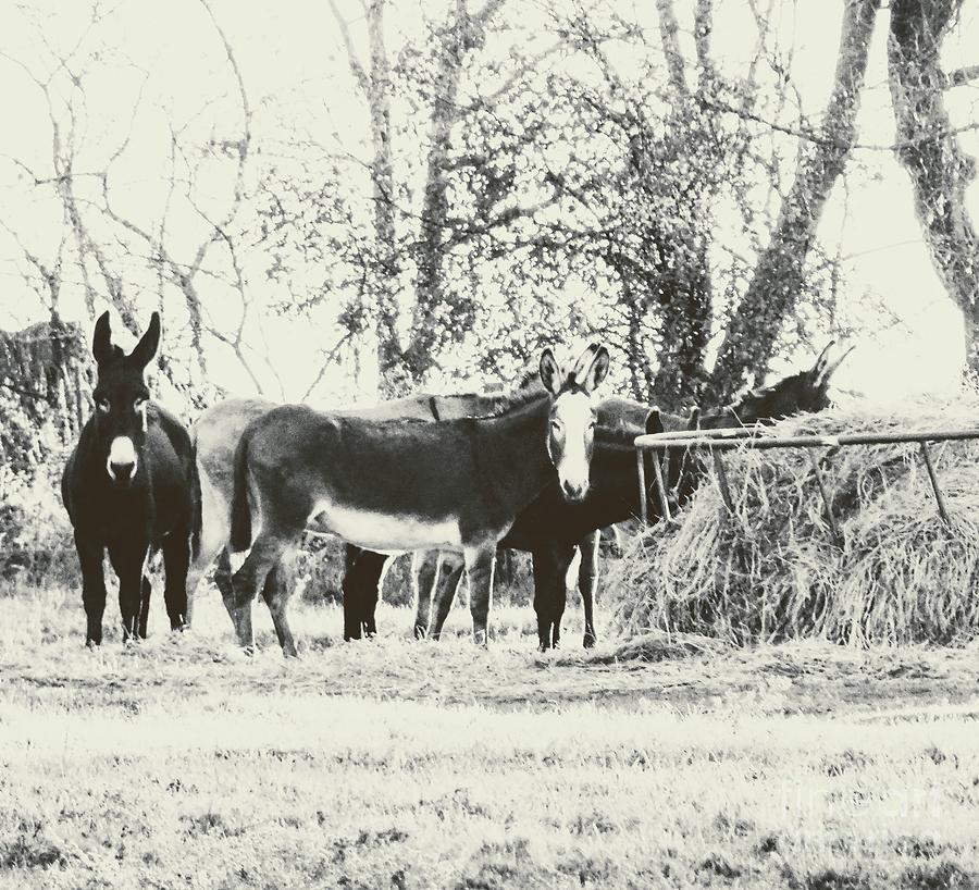 A Dream Of Donkeys Photograph