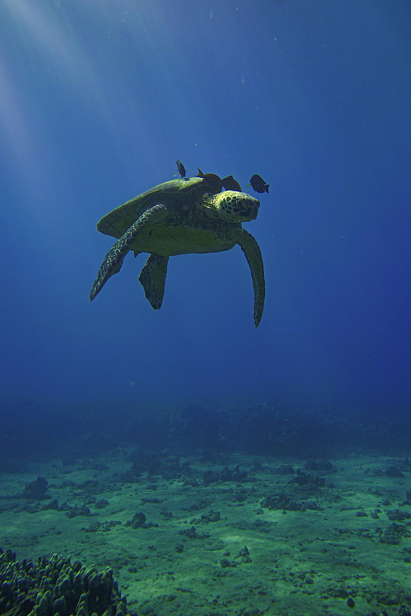 A Drift with Green Sea Turtle by Harry Donenfeld