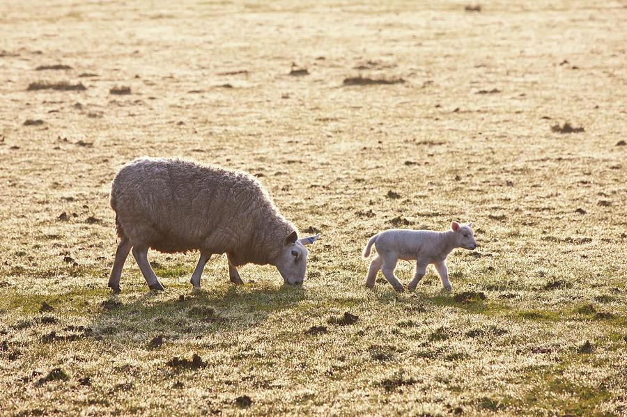 A Ewe And Lamb On A Frosty Field Photograph by Paul Quayle / Design Pics