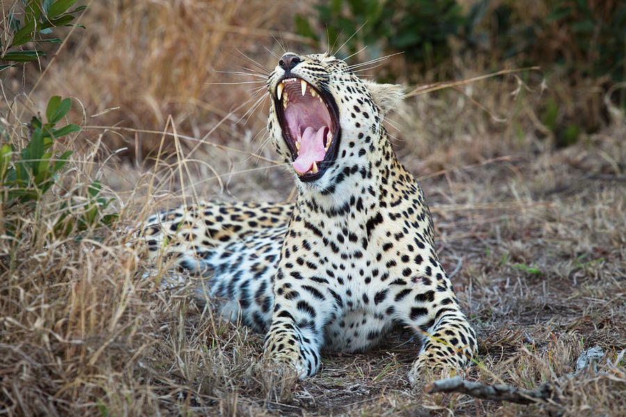 A Female Leopard Yawning Photograph by Sean Russell
