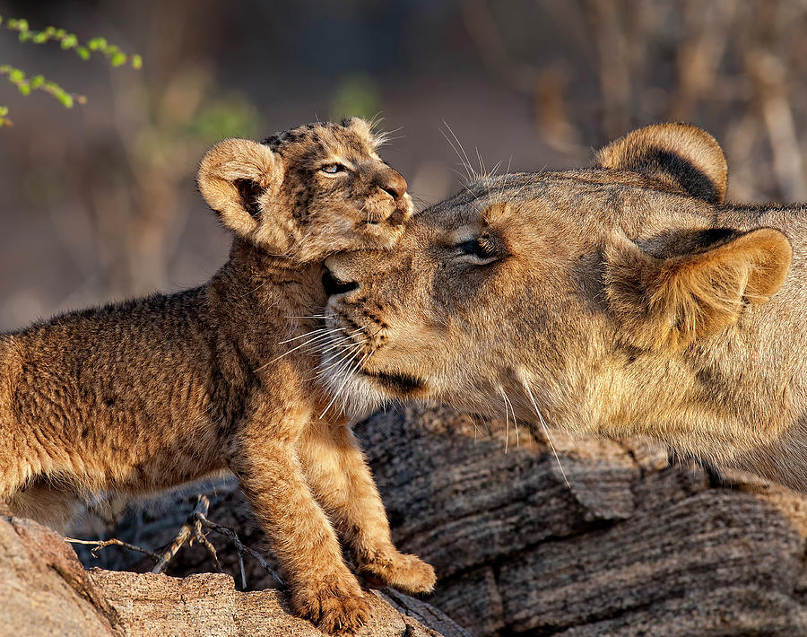 A Female Lion Panthera Leo And Her Cub Photograph by Annie Katz