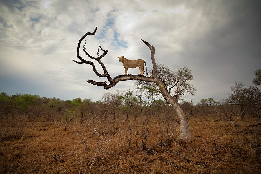A Female Lion Standing On Bare Branch Photograph by Sean Russell