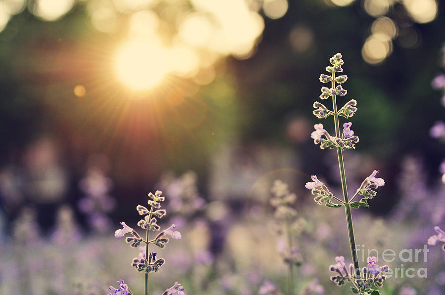 New Photograph - A Field Of Lavender Flowers During by Jiyang Chen
