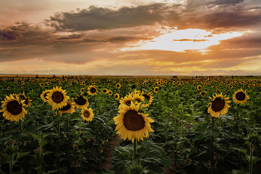 A Field of Sunflowers at Sunset by Kevin Schwalbe