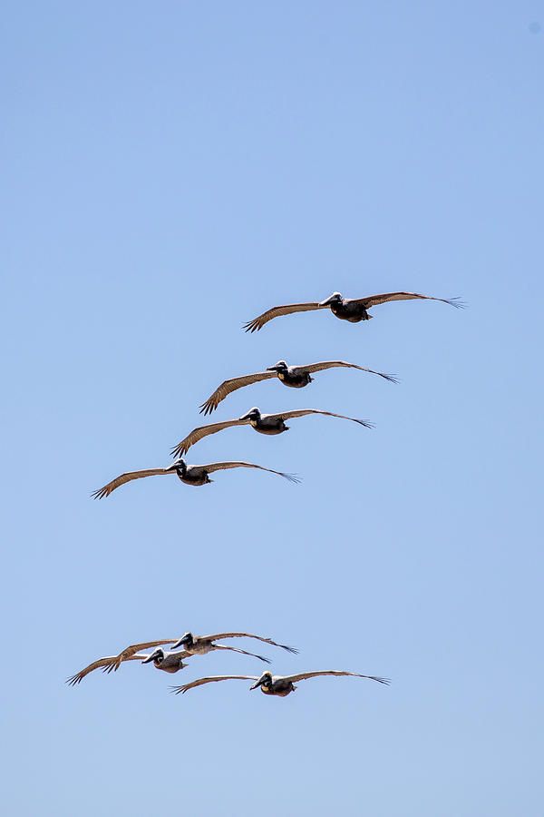 A Flock of Pelicans 2 by David Stasiak