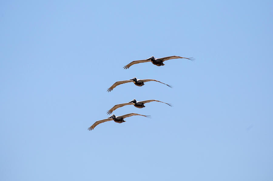A Flock of Pelicans 3 by David Stasiak