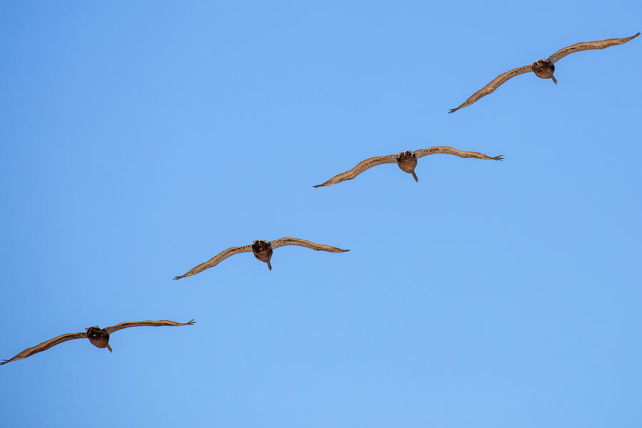 A Flock of Pelicans 5 by David Stasiak