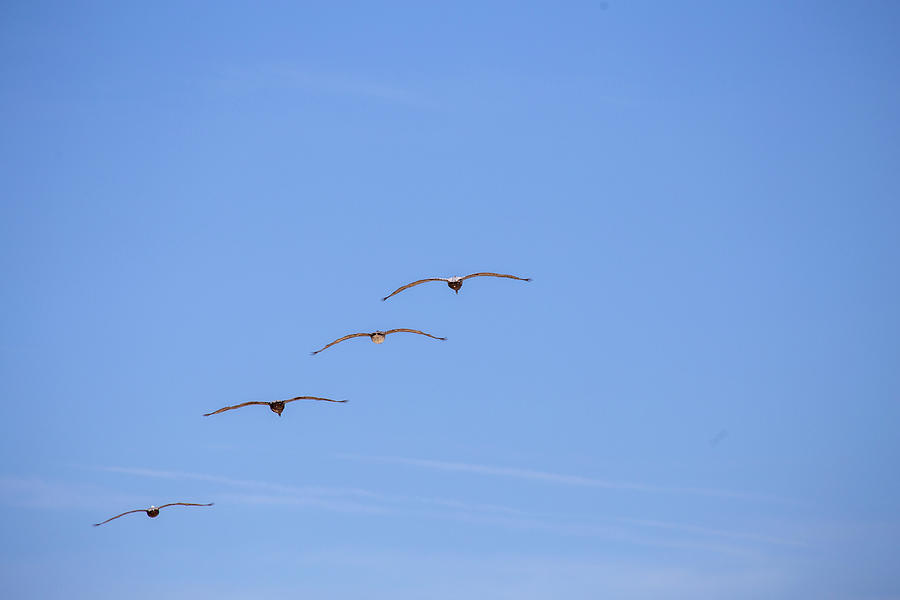A Flock of Pelicans 7 by David Stasiak