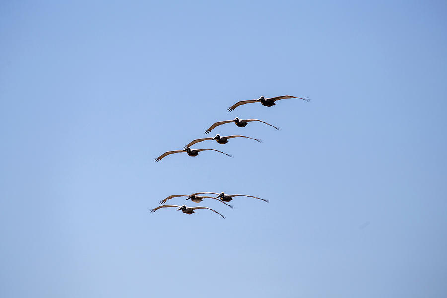 A Flock of Pelicans by David Stasiak