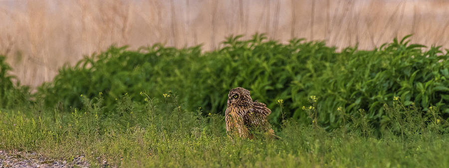 A Fluffed Out Shorty by Yeates Photography