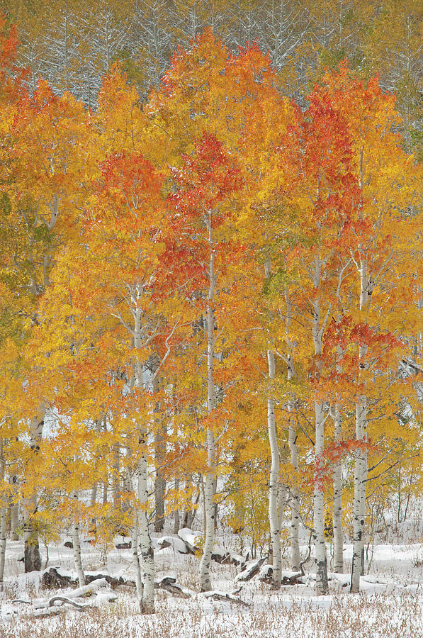 A Forest Of Quaking Aspen Trees With Photograph by Mint Images - David Schultz