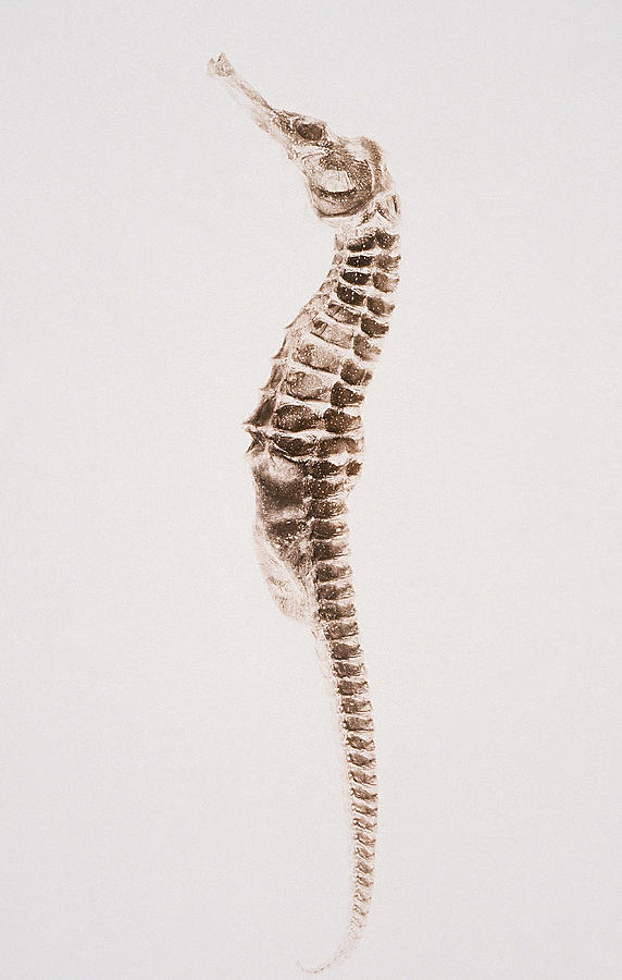 A Fossilized Seahorse Against A White Photograph by Michael Cuno