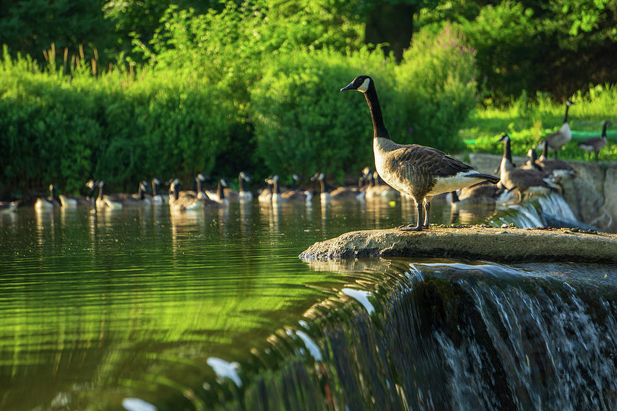 A Gaggle of Geese by Jason Fink