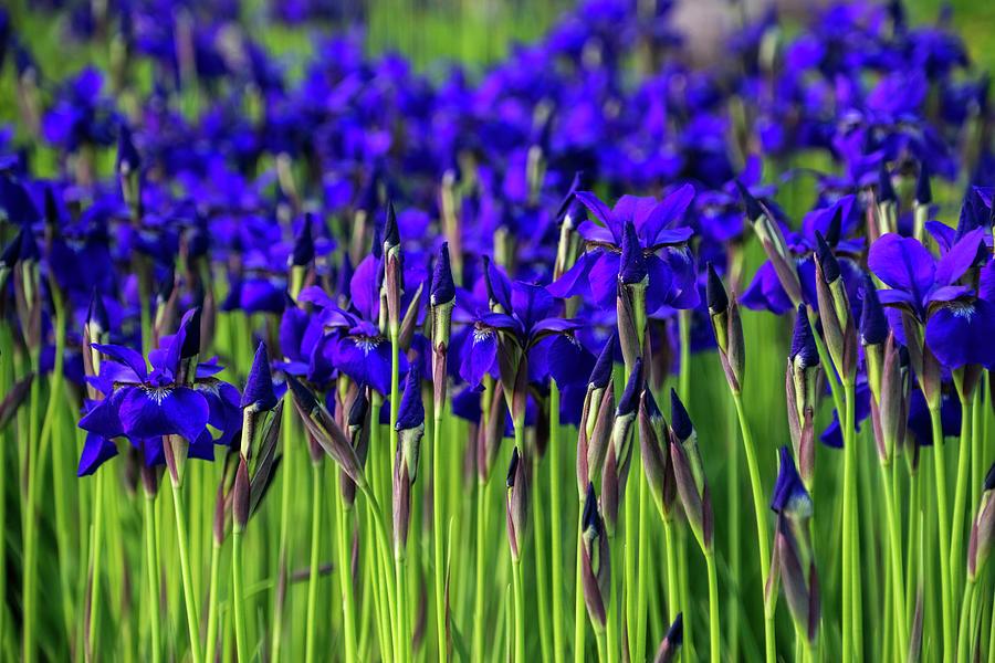 A Garden for Vincent Van Gogh - Indigo Purple Irises Springtime Abundance - Take One by Georgia Mizuleva