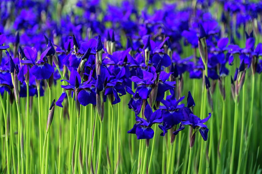 A Garden for Vincent Van Gogh - Indigo Purple Irises Springtime Abundance - Take Two by Georgia Mizuleva