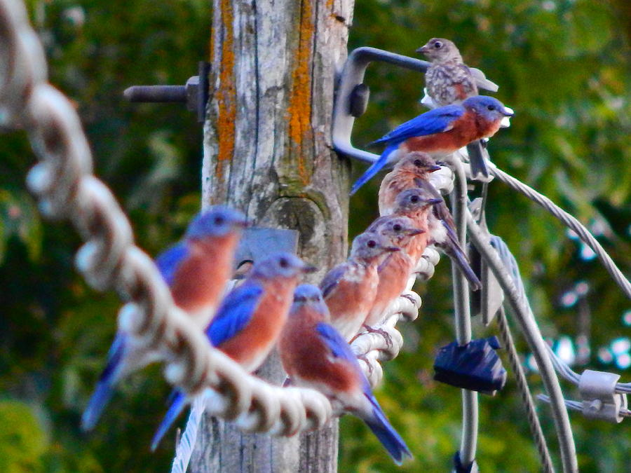 a gathering of bluebirds by Virginia Kay White