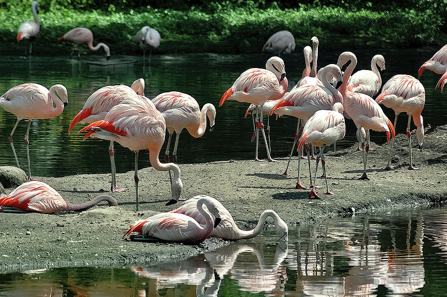 A Gathering of Flamingos by PAUL COCO