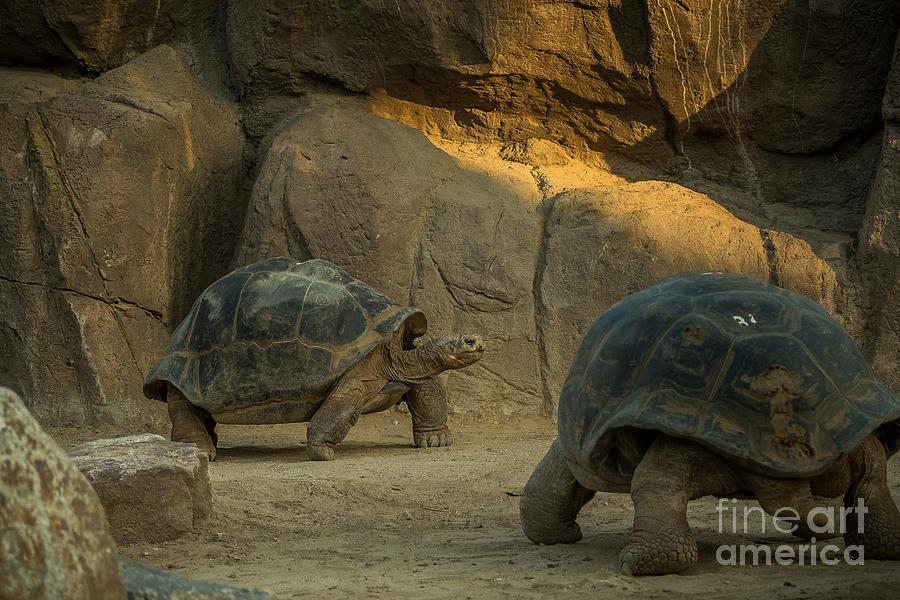 Big Photograph - A Giant Galapagos Turtles On A Walk by Awol666