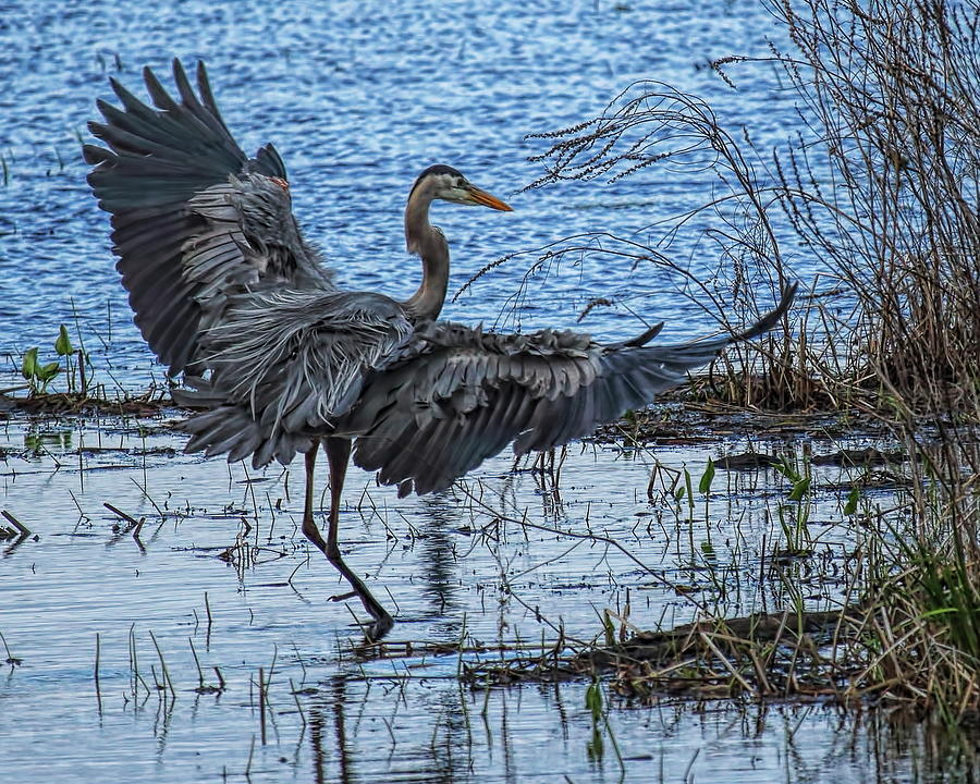 A Great Blue Heron Touch Down by Dale Kauzlaric