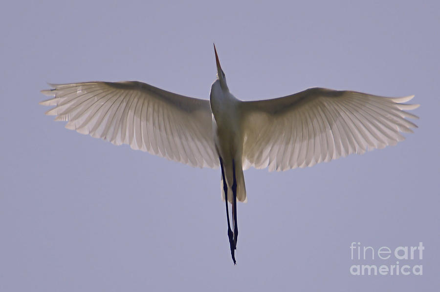 A Great Egret Flyover by Sheila Lee