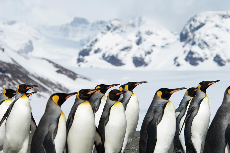 A Group Of King Penguins, Aptenodytes Photograph by Mint Images - David Schultz