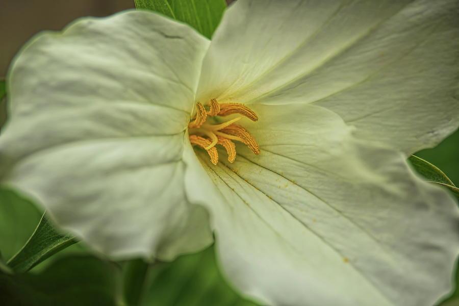 A Hardwood Trillium Macro Photograph