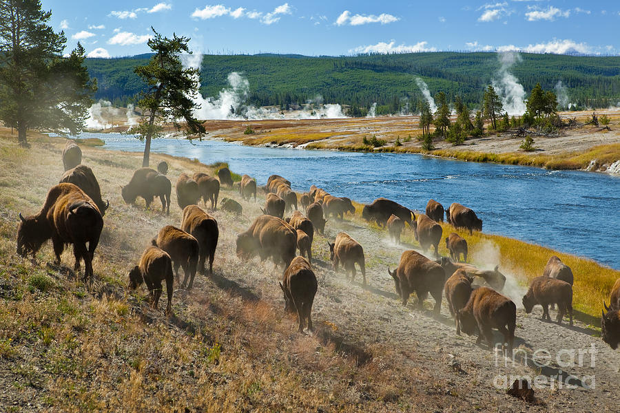 Fur Photograph - A Herd Of Bison Moves Quickly by Lee Prince