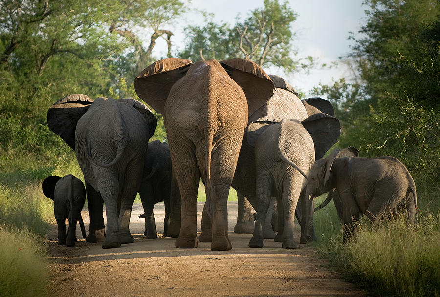 A Herd Of Elephants Heading Away From Us Photograph by Jono0001