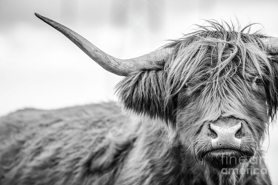 A Highland Cow In Scotland Photograph by Paul Allen