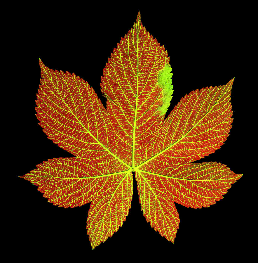 Chlorophyll Photograph - A Hops Leaf Dyed To Show Veins by Ted M. Kinsman
