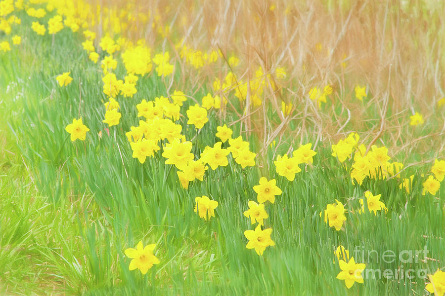 Daffodils Photograph - A Host of Daffodils by Marilyn Cornwell