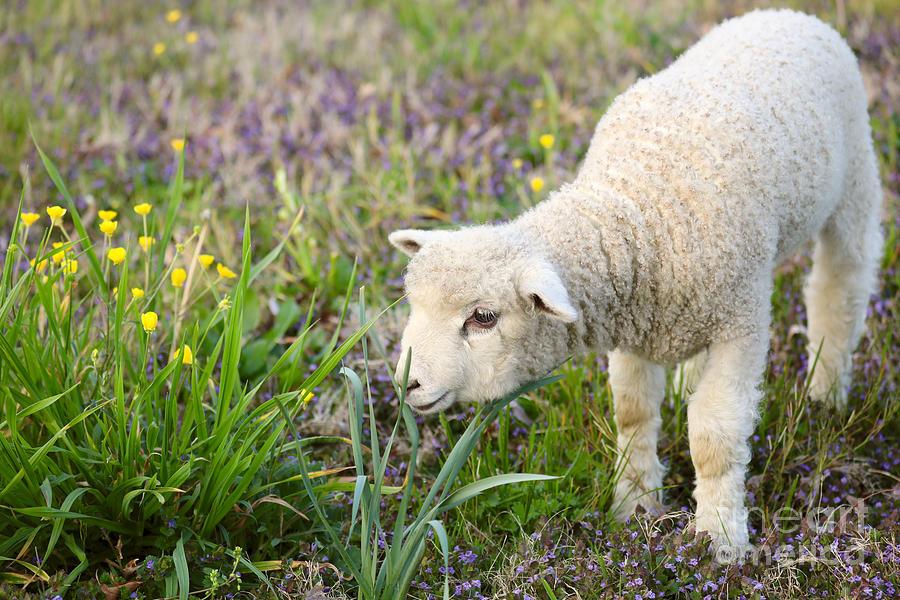 A Lamb in Spring by Rachel Morrison