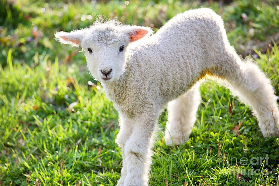A Lamb in the Morning by Rachel Morrison