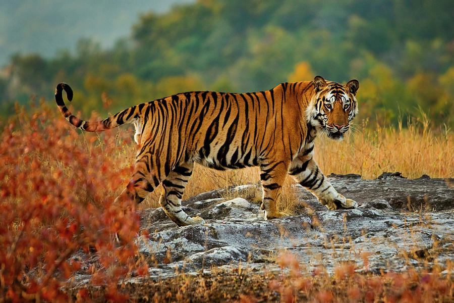 A Large Tiger In Bandhavgarh National Photograph by Mint Images - Art Wolfe