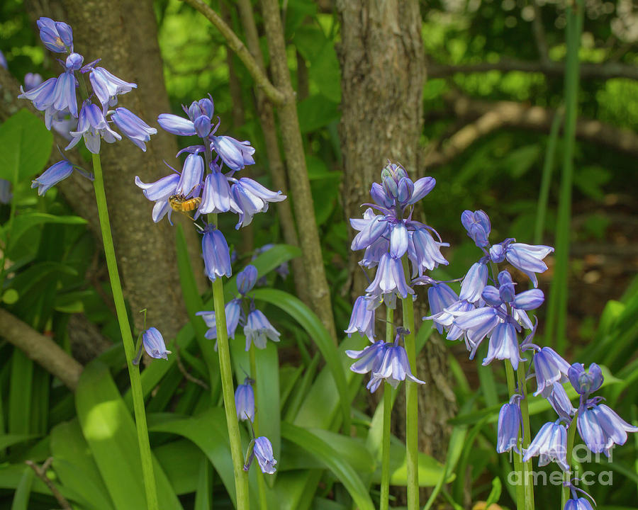 A line of bluebells by Agnes Caruso