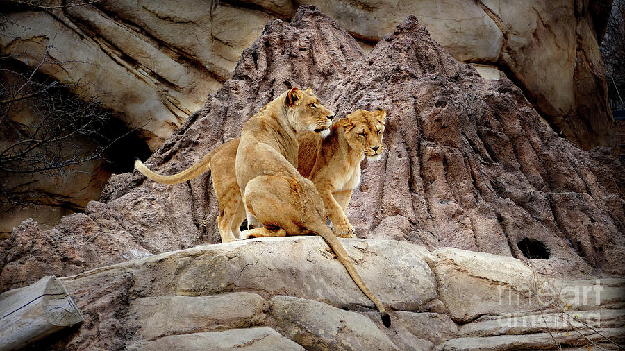 A Lion Couple by Julian Starks