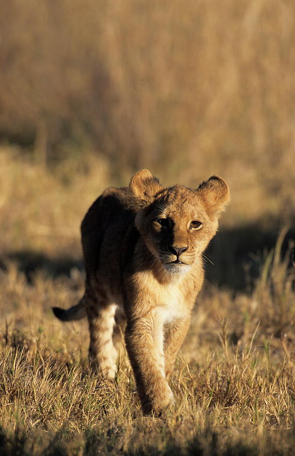 A Lion Cub Advancing Towards The Camera Photograph by Daryl Balfour