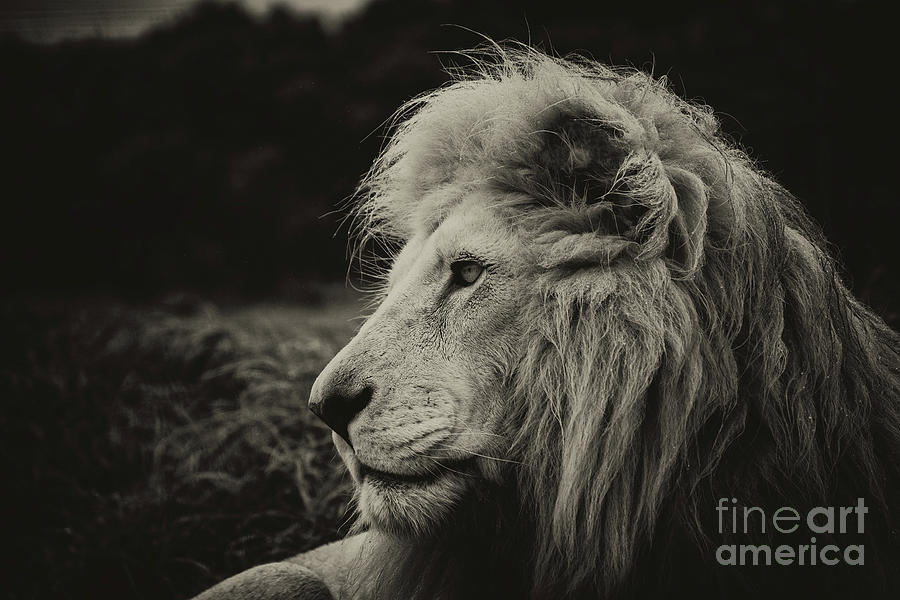 A Lion Photograph by Michael Cunningham