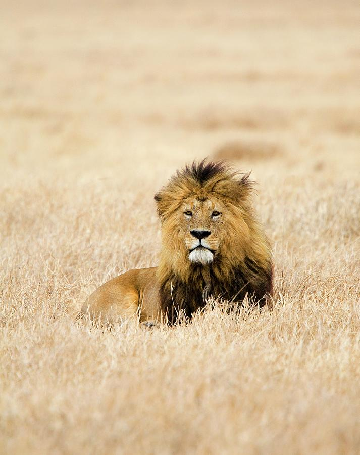 A Lion Photograph by Sean Russell