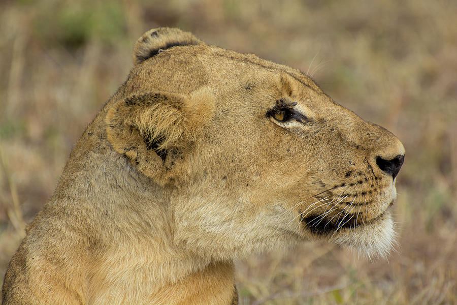 A lioness in profile by Mark Hunter