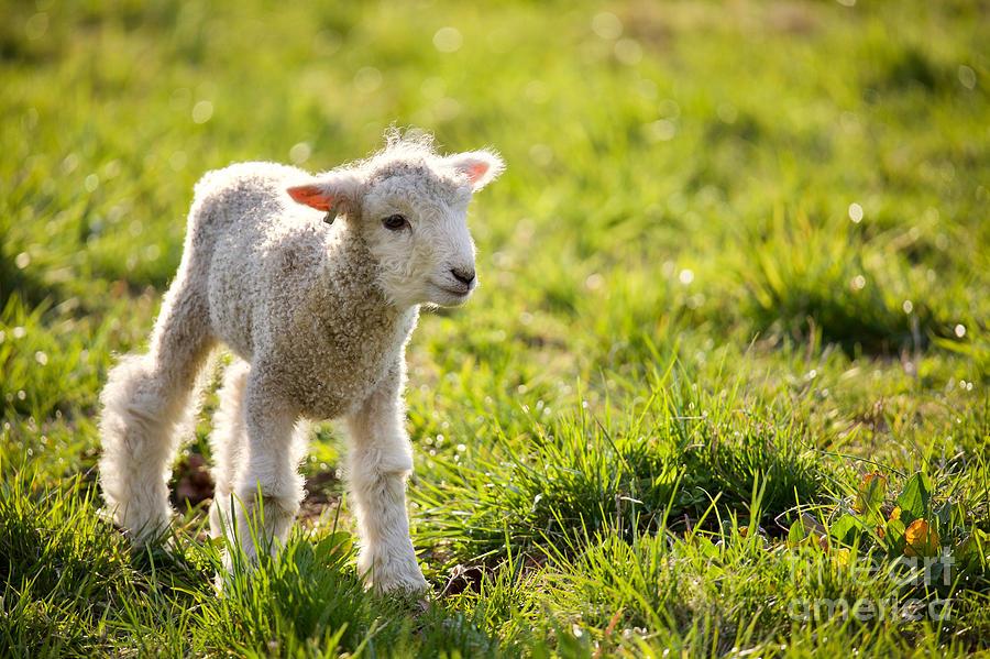A Little Leicester Longwool Lamb by Rachel Morrison