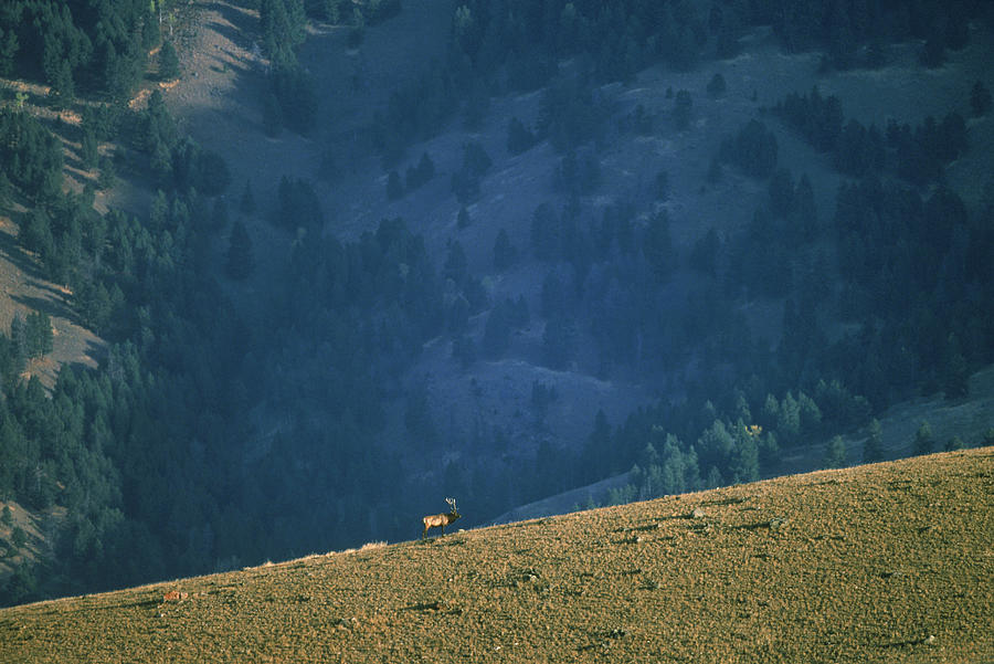 A Lone Bull Elk On A Mountain Ridge In Photograph by Jose Azel