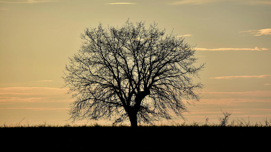 Oak Tree Photograph - A lone oak at sunset by Michael Briley