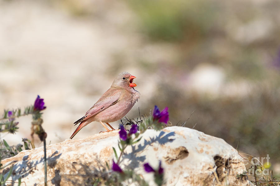 Small Photograph - A Male Trumpeter Finch Bucanetes by Andrew M. Allport