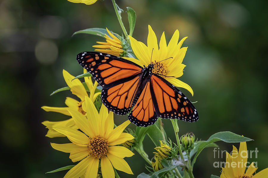 A Monarch butterfly Perched on Sunflowers by Richard Smith