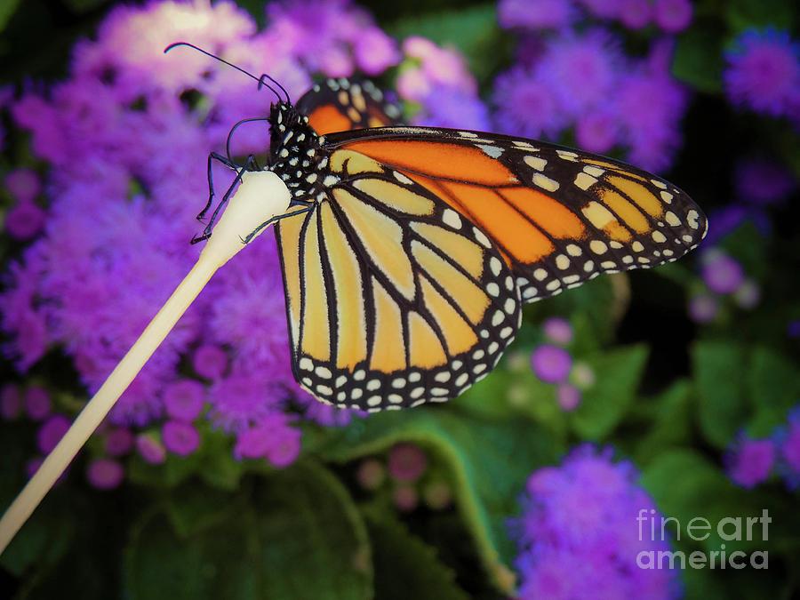 Flower Photograph - A Monarchs Lunch  by Gina Matarazzo
