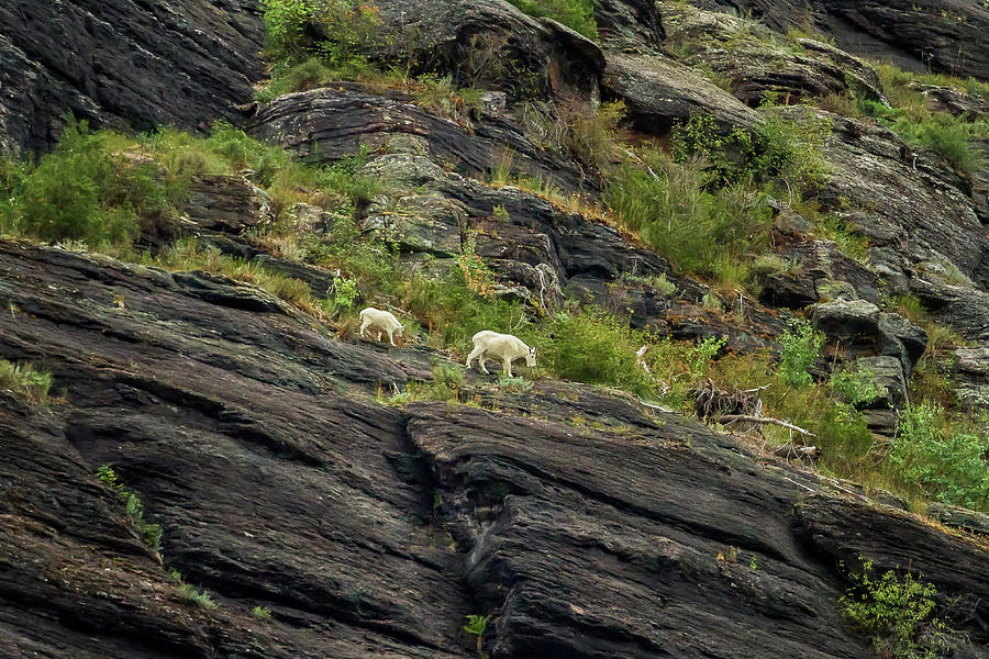A Mother Mountain Goat and Her Kid Above Avalanche Lake by Belinda Greb