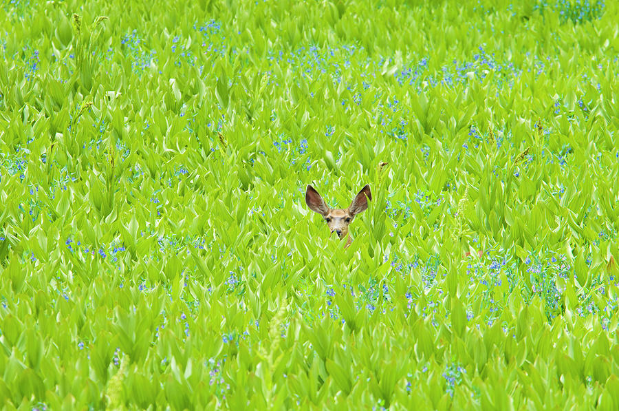 A Mule Deer Hiding In A Field Of Wild Photograph by Mint Images - David Schultz