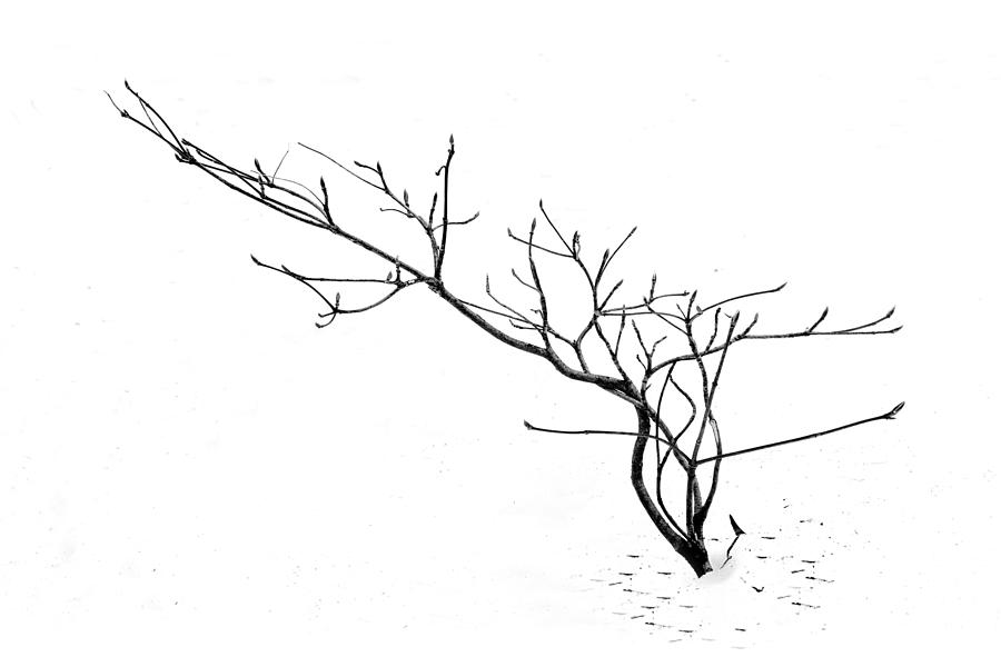 A naked twig in the snow by Alessandra RC